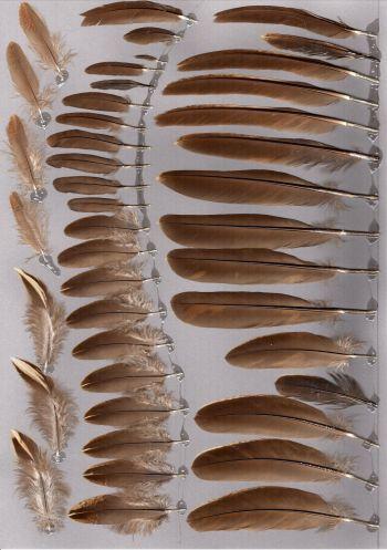 Bild von Federn der Art Pucrasia macrolopha (Koklassfasan)