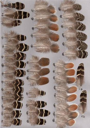 Bild von Federn der Art Lophura diardi (Prälatfasan)