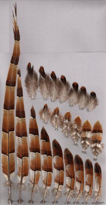Bild von Federn der Art Syrmaticus soemmerringii (Kupferfasan)