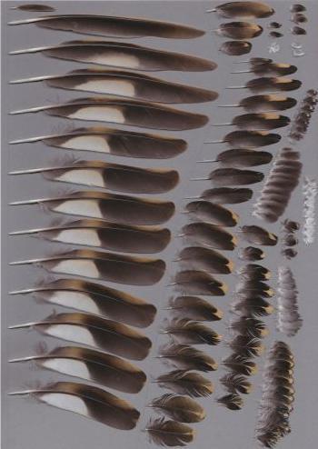Bild von Federn der Art Zoothera aurea (Erddrossel)