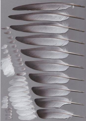 Bild von Federn der Art Columba livia (Felsentaube)