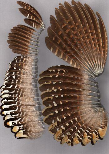 Bild von Federn der Art Syrmaticus reevesii (Königsfasan)