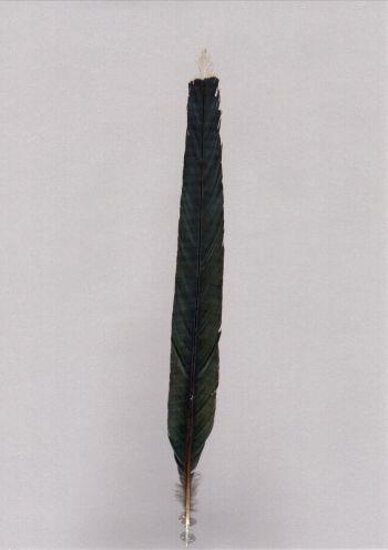 Bild von Federn der Art Phaenicophaeus tristis (Großer Grünschnabelkuckuck)
