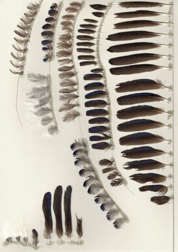 Bild von Federn der Art Cinnyricinclus leucogaster (Amethystglanzstar)