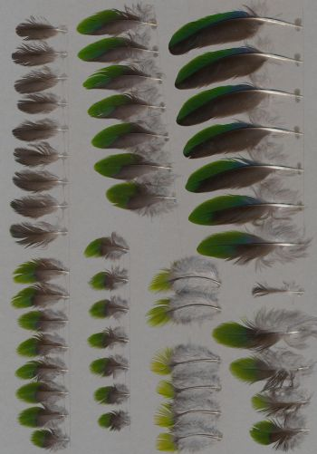 Bild von Federn der Art Eunymphicus cornutus (Hornsittich)