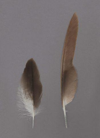 Exhibit of the species Circus aeruginosus