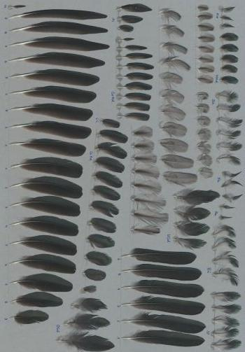 Exhibit of the species Aplonis panayensis