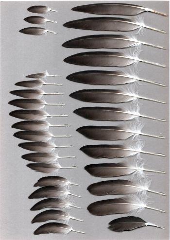 Bild von Federn der Art Cepphus carbo (Brillenteiste)