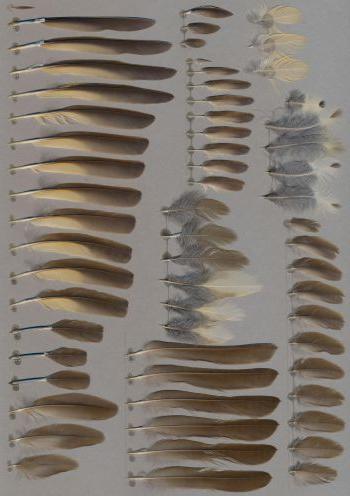 Exhibit of the species Turdus philomelos