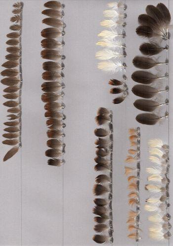 Exhibit of the species Dendrocygna bicolor