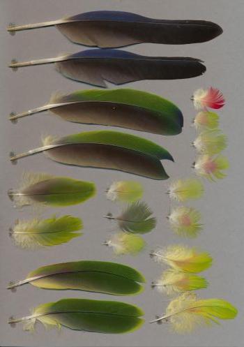 Exhibit of the species Amazona festiva