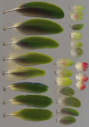 Bild von Federn der Art Amazona festiva (Blaubrauenamazone)