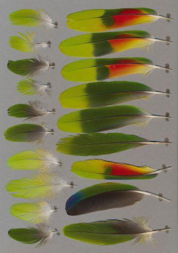 Bild von Federn der Art Amazona barbadensis (Gelbflügelamazone)