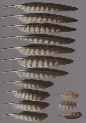Bild von Federn der Art Falco naumanni (Rötelfalke)