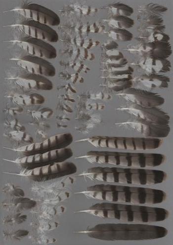 Bild von Federn der Art Accipiter brevipes (Kurzfangsperber)