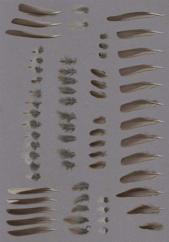 Exhibit of the species Anthus trivialis