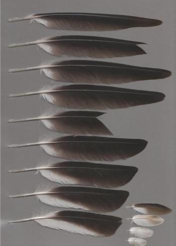 Exhibit of the species Vanellus cinereus
