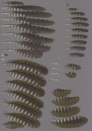 Exhibit of the species Picus viridis