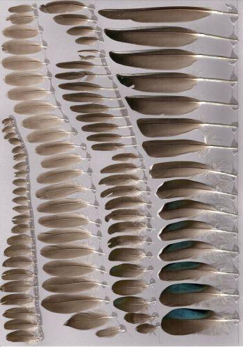 Bild von Federn der Art Aix galericulata (Mandarinente)