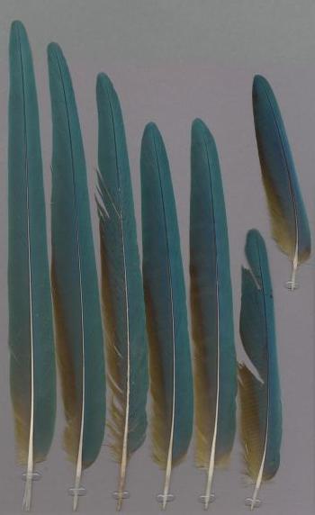 Bild von Federn der Art Ara glaucogularis (Blaukehlara)