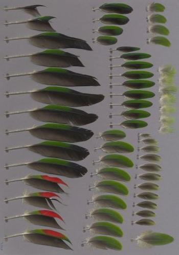 Exhibit of the species Amazona autumnalis