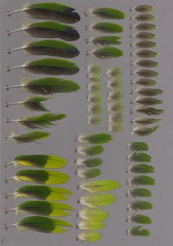 Bild von Federn der Art Amazona autumnalis (Rotstirnamazone)