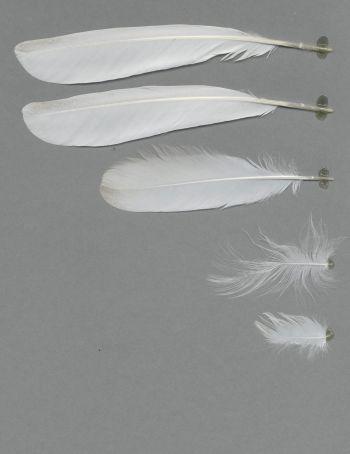 Bild von Federn der Art Ardeola grayii (Paddyreiher)