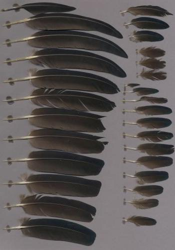 Exhibit of the species Caloenas nicobarica