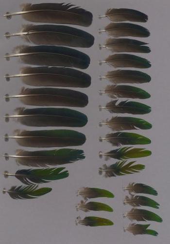 Bild von Federn der Art Caloenas nicobarica (Kragentaube)