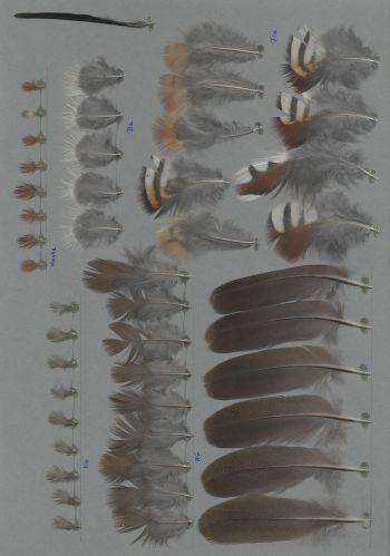 Bild von Federn der Art Oreortyx pictus (Bergwachtel)