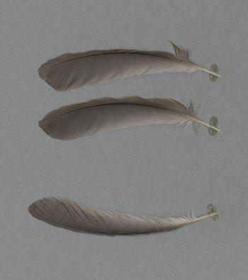 Exhibit of the species Pterorhinus courtoisi
