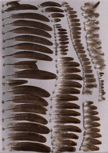 Exhibit of the species Polyplectron napoleonis