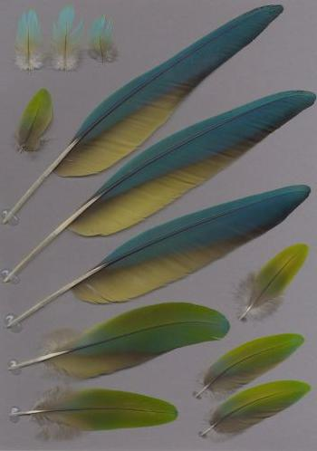Bild von Federn der Art Ara ambiguus (Großer Soldatenara)
