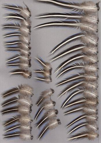 Exhibit of the species Acryllium vulturinum