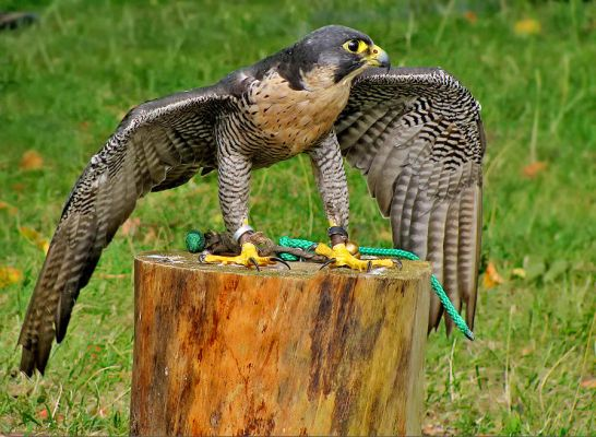 Foto der Art Falco peregrinus (Wanderfalke)