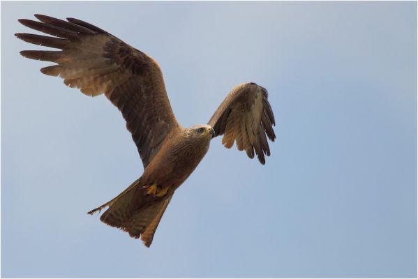 Foto der Art Milvus migrans (Schwarzmilan)