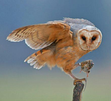 Foto der Art Tyto alba (Schleiereule)