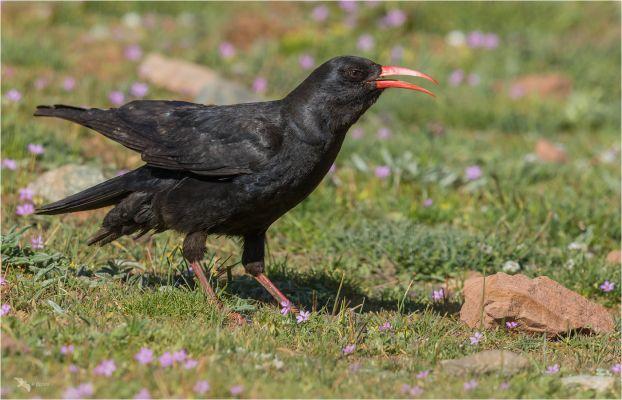 Foto der Art Pyrrhocorax pyrrhocorax (Alpenkrähe)
