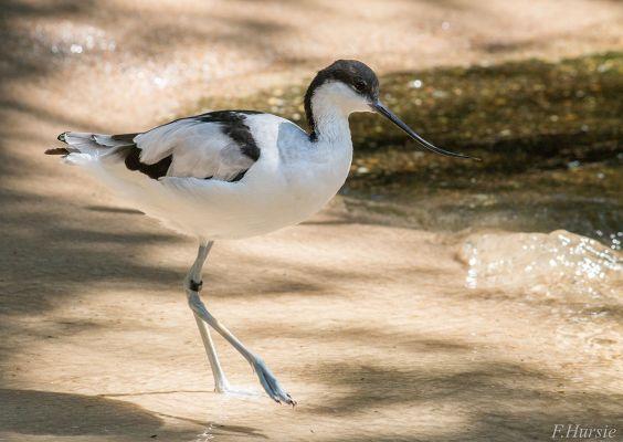 Foto der Art Recurvirostra avosetta (Säbelschnäbler)