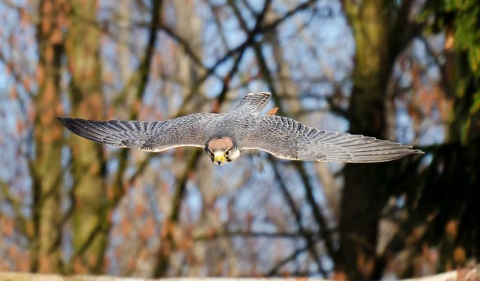 Foto der Art Falco biarmicus (Lannerfalke)