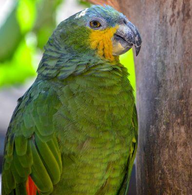 Foto der Art Amazona amazonica (Venezuelaamazone)
