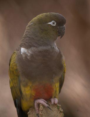 Foto der Art Cyanoliseus patagonus (Felsensittich)