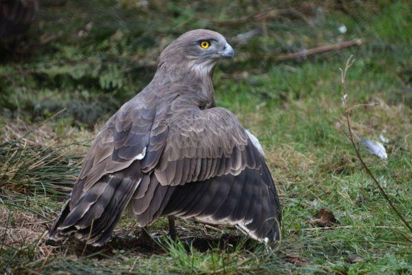 Foto der Art Circaetus gallicus (Schlangenadler)