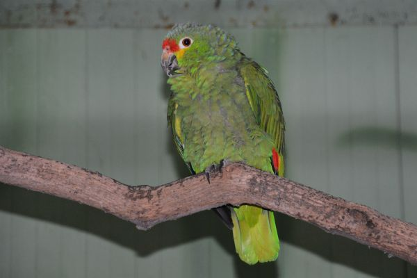 Foto der Art Amazona autumnalis (Rotstirnamazone)