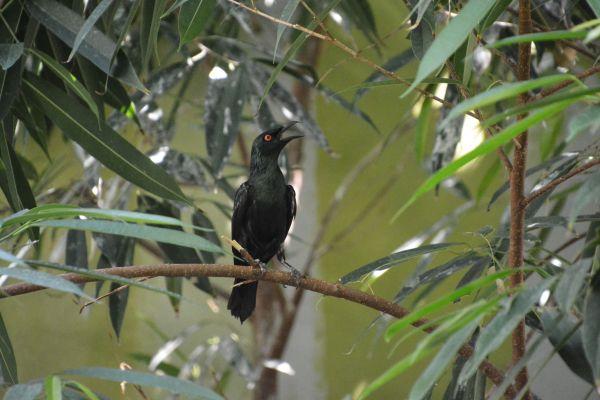Foto der Art Aplonis panayensis (Malaienstar)