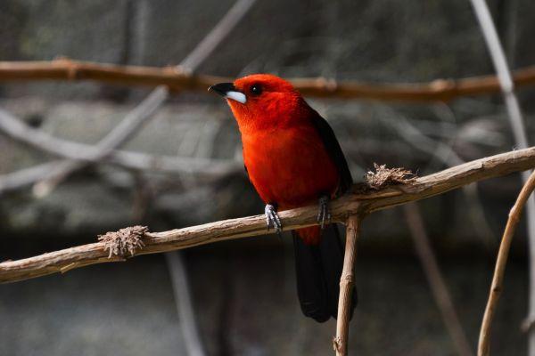Foto der Art Ramphocelus bresilius (Brasiltangare)
