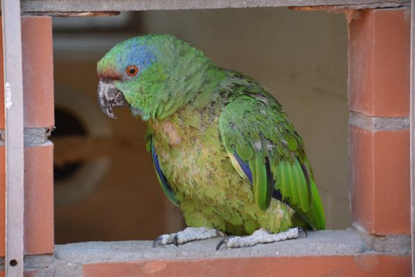 Foto der Art Amazona festiva (Blaubrauenamazone)