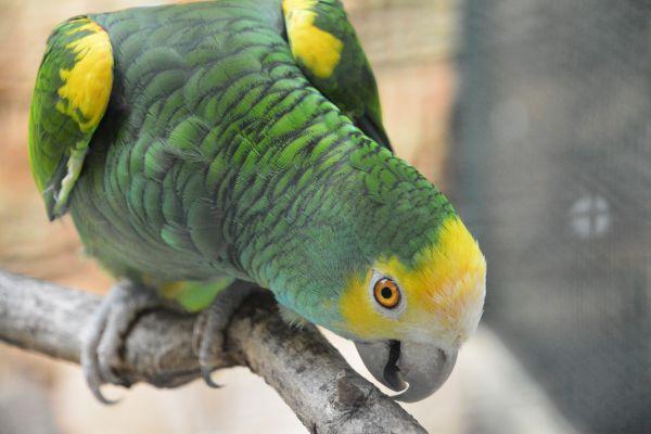 Foto der Art Amazona barbadensis (Gelbflügelamazone)